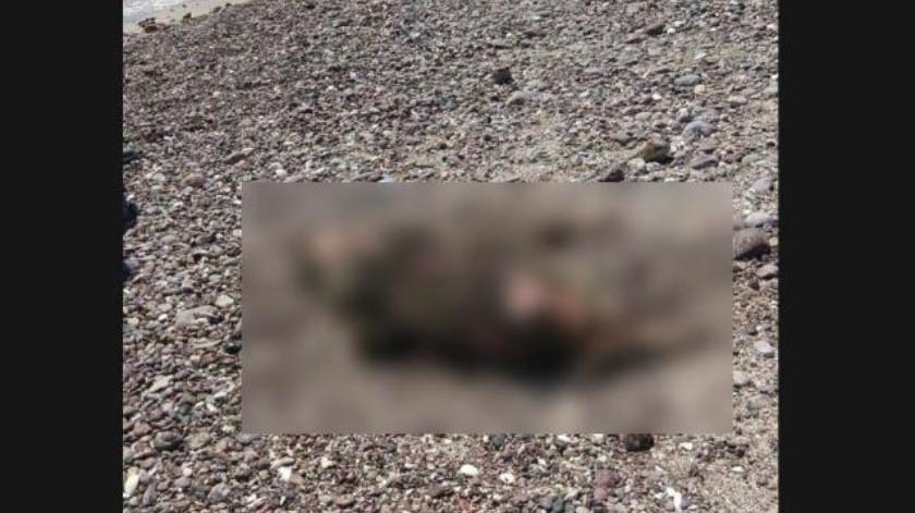 Encuentran muerto otro ejemplar de lobo marino en playa de San Carlos