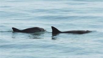 Buscan recuperar a la vaquita marina con nuevo programa