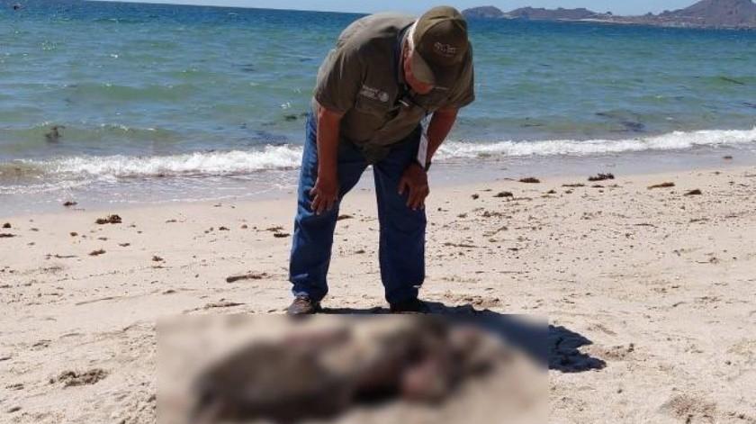 Hallan lobo marino sin vida y en descomposición en costas de San Carlos
