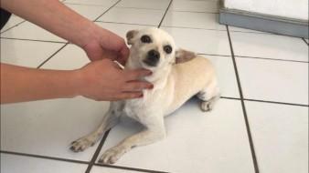 Navojoa: Perrita Chihuahua protegió a sus amos y hogar de presuntos ladrones