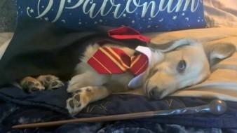 VIDEO: Este perrito se vuelve famoso por concer el mundo de Harry Potter