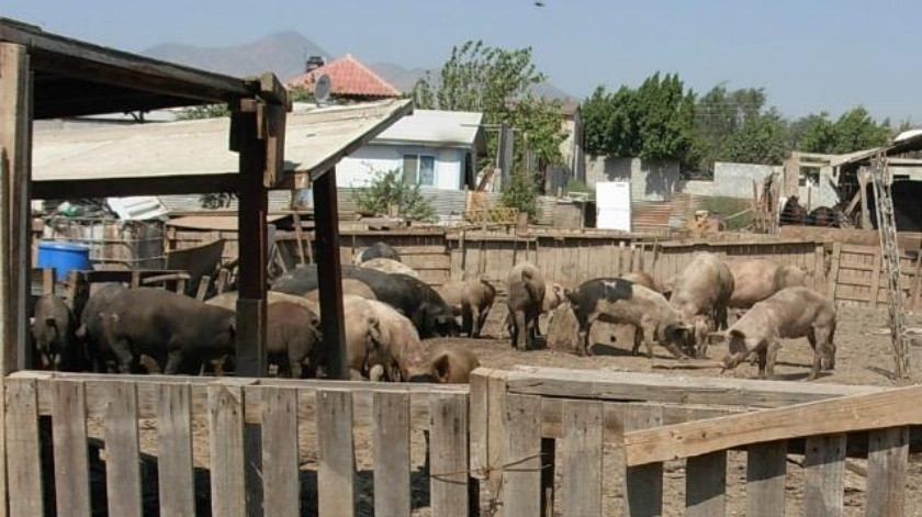 Clausuran criadero irregular de cerdos en Tijuana