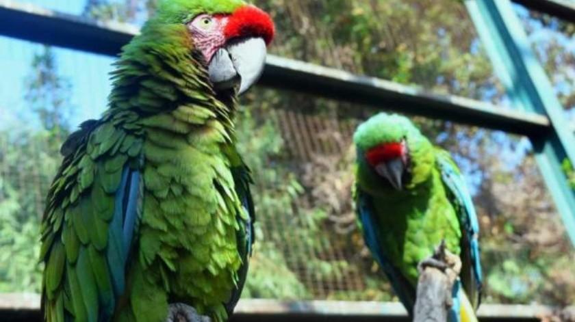 Preservan a la guacamaya verde en Parque Morelos