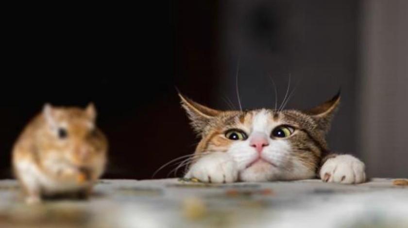 ¿Sabias que las ratas están ganando la guerra contra los gatos?