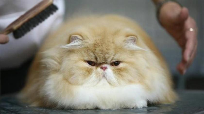Razas de gatos más extravagantes