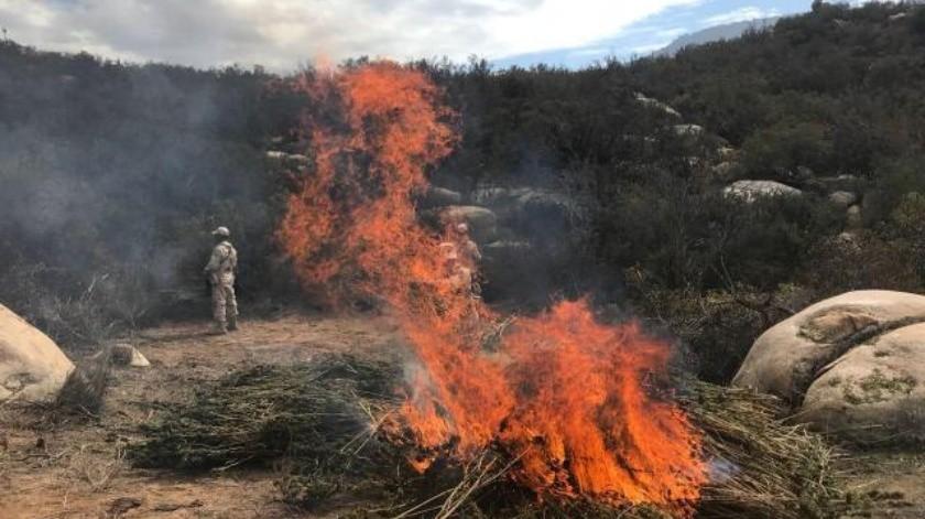 Hallan plantío de mariguana cerca de Valle de Guadalupe