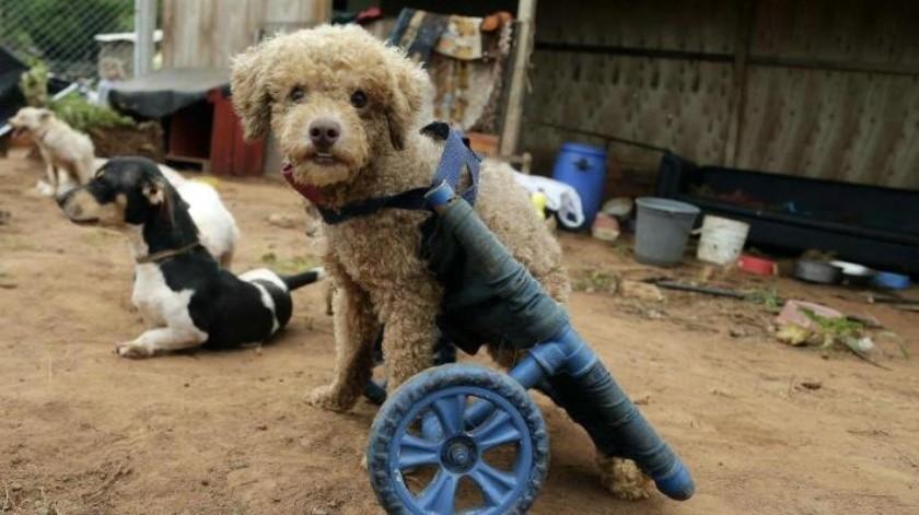 Mujer fabrica sillas de ruedas artesanales para animales con discapacidad; busca que vuelvan a caminar