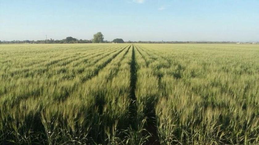 Mantendrán siembra de trigo pese a vulnerabilidad