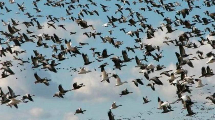 Del Ártico hacia todos los continentes: Aves migratorias