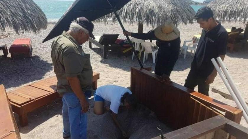 Llegan a San Carlos las tortugas golfinas