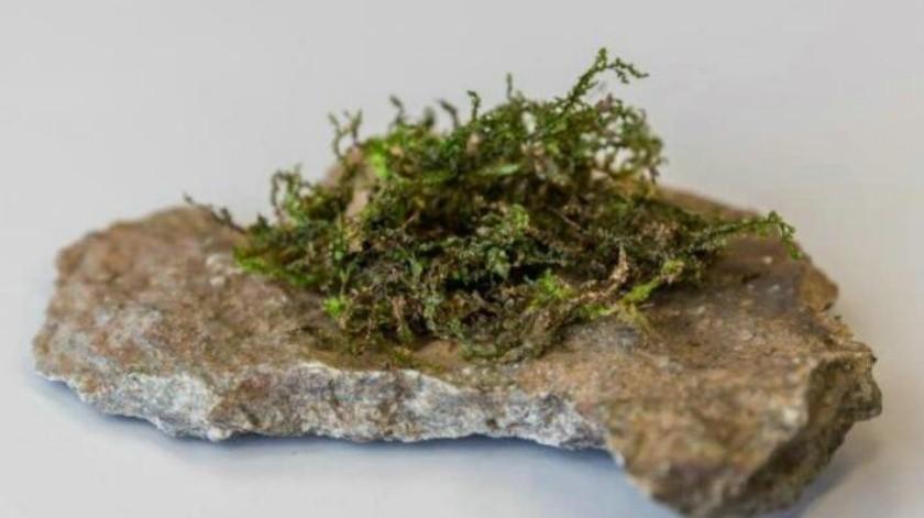 Descubren planta más efectiva que la cannabis como medicamento