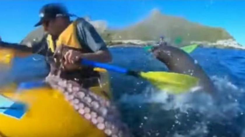León marino golpea con un pulpo a hombre que paseaba en kayak