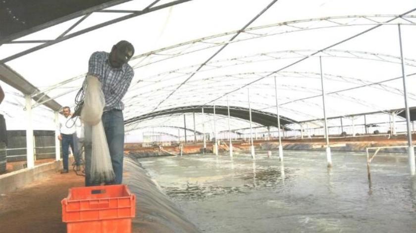 Virus en granjas de camarón, merma hasta 60% de producción