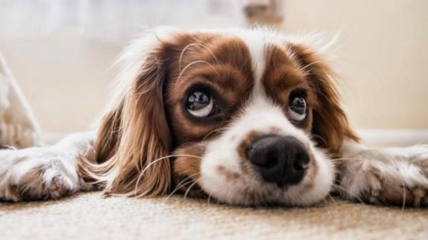 Perros rastreadores pueden detectar personas infectadas