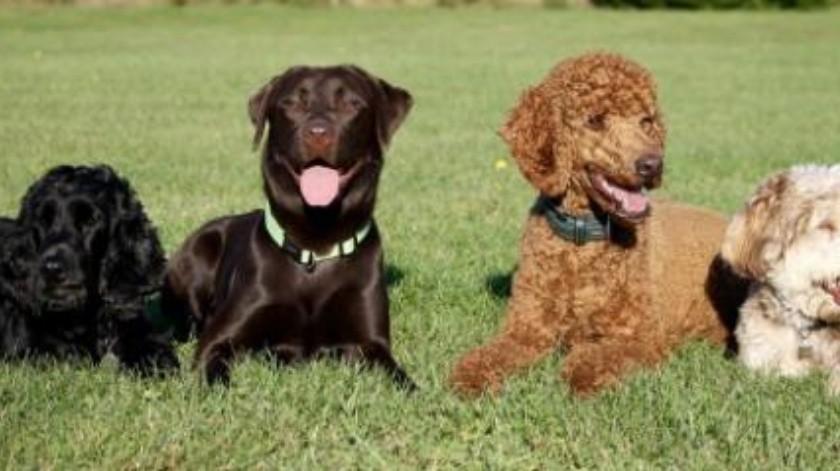 Mala alimentación puede provocar cálculos renales en perros