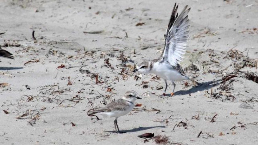 Crean alianza para proteger a las aves playeras en Ensenada