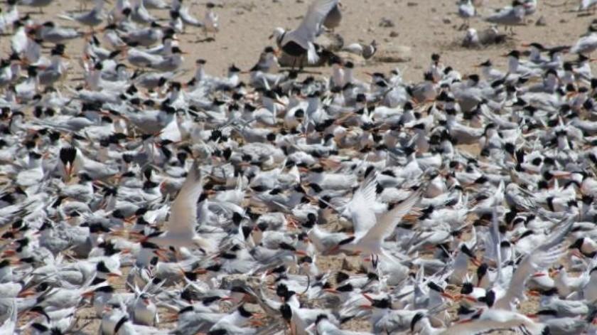 Inicia  temporada de anidación de aves marinas en Isla Rasa