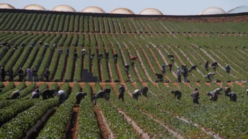 Pega fuga de jornaleros a agricultores de Ensenada