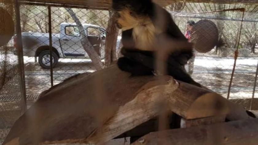 Asegura Profepa ejemplar de mono araña en Ensenada