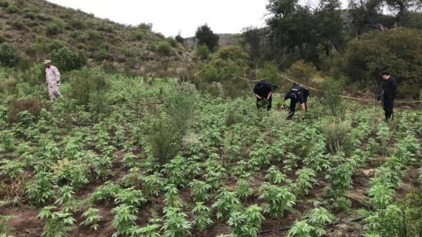 Localiza Ejército plantíos de amapola y mariguana al Este de Ensenada