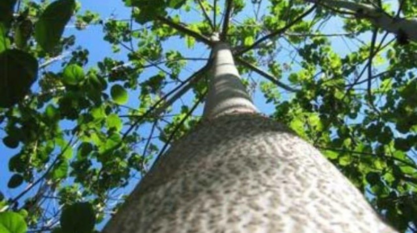 Biólogos de Mexicali desaprueban introducción de árbol Kiri