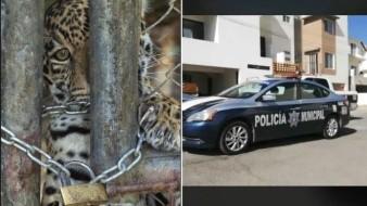 VIDEO: Ataca jaguar a albañil mientras trabajaba en residencial de Chihuahua