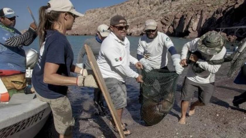 Liberan a lobos marinos en La Paz BCS