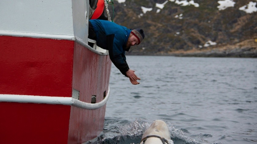Cuando alguien le lanzó un aro de plástico, la ballena beluga se lo llevó.(AP)