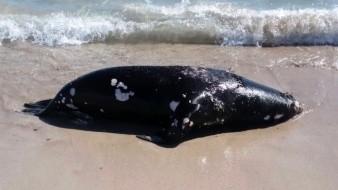 Aparece lobo marino muerto en San Carlos