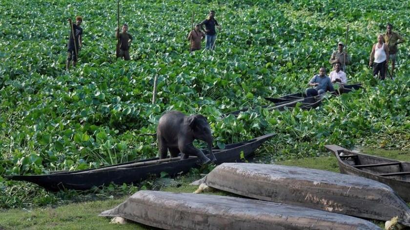 Lugareños y guardas forestales tratan de rescatar a una cría de elefante para que regrese a su hábitat natural, después de haber sido separado de su madre, en el santuario de aves de Beepor Beel en las afueras de Guwahati, India, este viernes. La cría fue abandonada por su madre y quedó atascada en el agua profunda y entre una espesa vegetación.(EFE)
