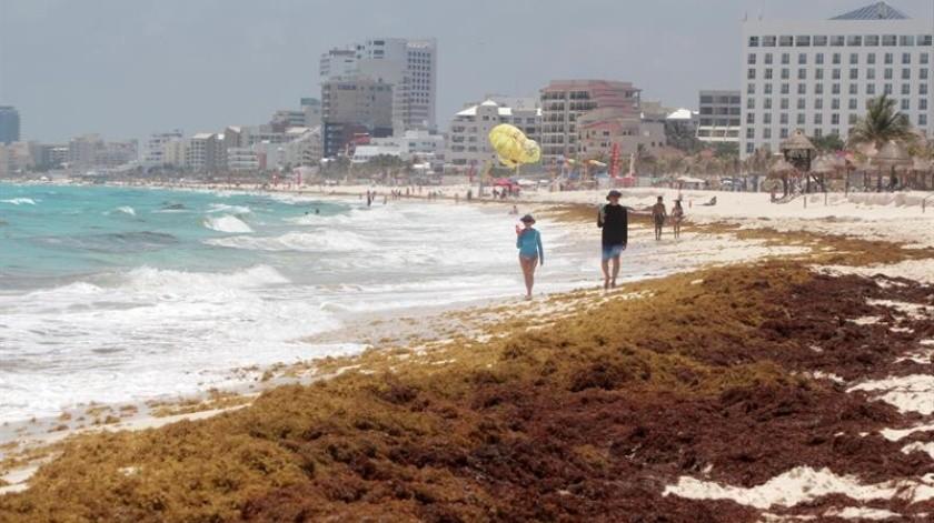 El sargazo es una alga marina parda, de olor fuerte y desagradable; aparece cada uno o dos años en las playas y existen 12 tipos.(EFE)