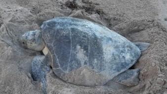 Sorprende desove de tortuga en Miramar; puso más de 95 huevos