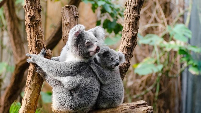 La AKF señaló que no habría más de 80 mil koalas en Australia.(Ilustrativa/Pixabay)