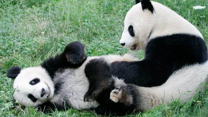 Imagen en el zoológico de Schoenbrunn en Viena que muestra al panda Fu Long, izquierda, jugando con su madre Yang Yang en el espacio cercado donde viven.(AP)