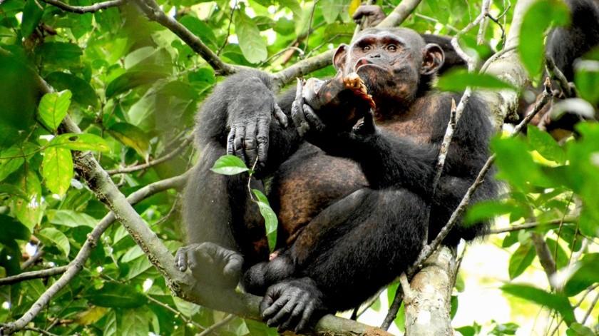 Un chimpancé salvaje come una tortuga después de quebrar el caparazón contra un árbol, en el Parque Nacional Loango de Gabón.(AP)