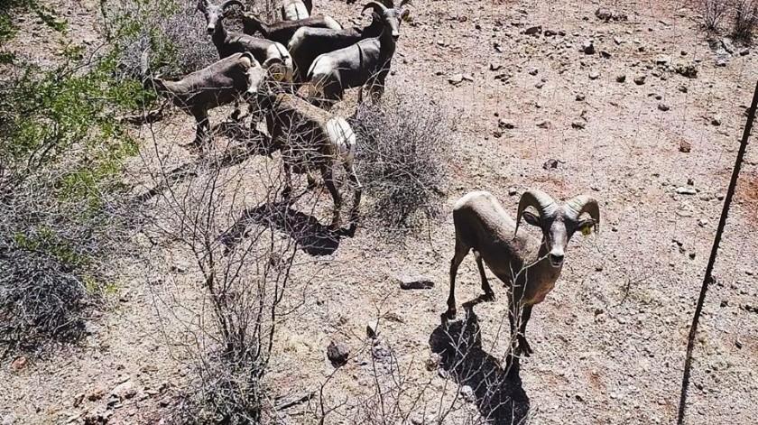 La Fundación de Vida Silvestre de Sonora trabaja en apoyar la reproducción de esta especie.