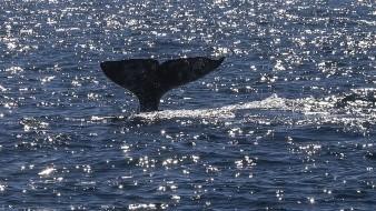 El delegado en Ensenada de la Secretaría de Turismo (Secture), Héctor Rosas Rodea, explicó que la temporada de avistamiento de ballenas inicia en la segunda semana de diciembre y termina a finales de abril o principios de mayo