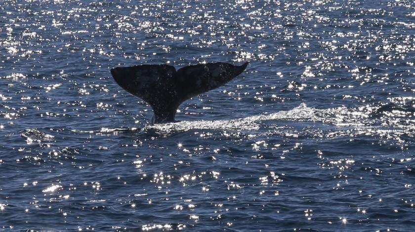 El delegado en Ensenada de la Secretaría de Turismo (Secture), Héctor Rosas Rodea, explicó que la temporada de avistamiento de ballenas inicia en la segunda semana de diciembre y termina a finales de abril o principios de mayo(Archivo)
