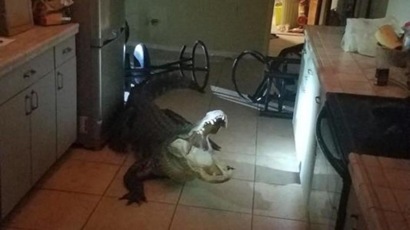 El cocodrilo mide cerca de 3 metros y medio y se encontraba en la cocina.(Facebook)