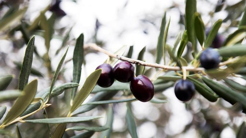 Considerado como uno de los ingredientes básicos de la gastronomía mediterránea, las aceitunas son el fruto del olivo, que bien pueden degustarse solo como botana o acompañadas para la preparación de otros platillos.(Tomada de la red)