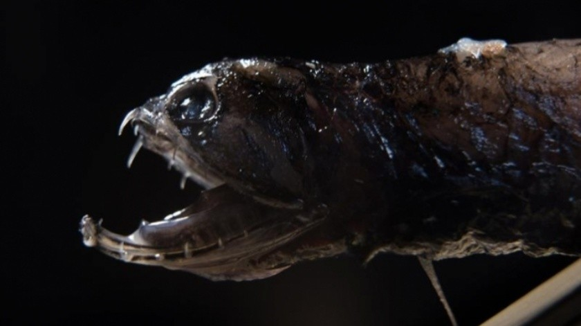Descubre cómo los peces dragones confunden a los depredadores(Tomada de la Red)