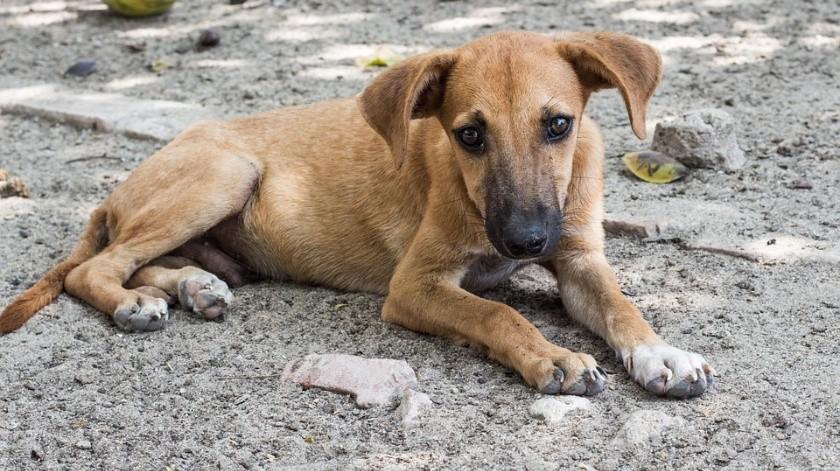 Pararán matanza de perros callejeros en Jalisco(Pixabay)