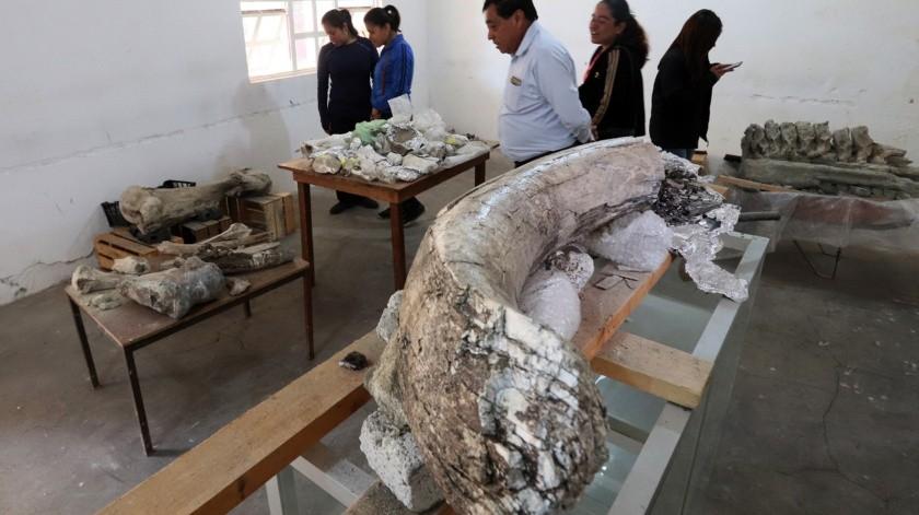 estos fósiles presuntamente de un mamut que datan de la época del pleistoceno, fueron localizados en la zona del municipio de Puebla.(El Universal)