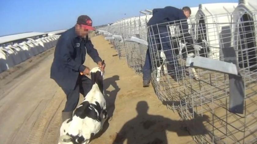 Denuncian maltrato animal en Fair Oaks Farms(Captura de video)