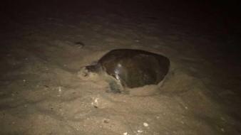 Foto ilustrativa. Tres tortugas han sido halladas muertas este año en el área de Guaymas y San Carlos.
