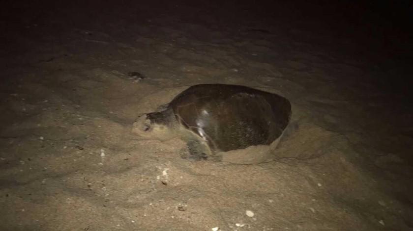 Foto ilustrativa. Tres tortugas han sido halladas muertas este año en el área de Guaymas y San Carlos.(Banco Digital)