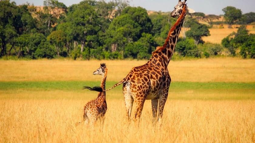 Con la muerte de Lily y Jioni, una hembra y un macho, quedan 18 jirafas en el safari.(Ilustrativa/Pixabay)
