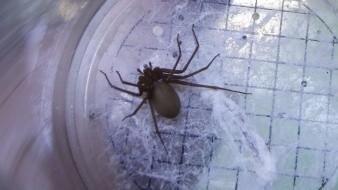 Una mujer de 53 años murió tras una mordedura de araña violinista.