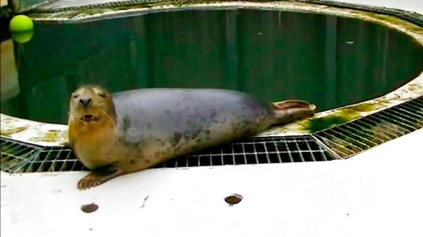 Imagen de una foca gris que imita los sonidos de la canción infantil Twinkle Twinkle Little Star.(AP, University of St Andrews)
