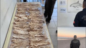 Personal de la Fiscalía General de la República (FGR) en Baja California aseguró una bolsa que contenía 43 piezas de la especie de vida silvestre acuática denominada Totoaba Macdonaldi.